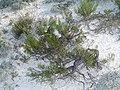 Крейдяні відслонення Artemisia salsoloides.jpg