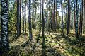 Лес возле болота - panoramio.jpg