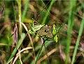 Пластинохвост точечный - Speckled bush-cricket - Leptophyes punctatissima (14393815350).jpg