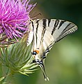 Подалирий - Iphiclides podalirius - Scarce Swallowtail - Лястовичата опашка - Segelfalter (34813420804).jpg