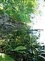 Прісноводна губка Бодяга.jpg