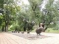 Утки парк напротив Новодевичьего монастыря.JPG