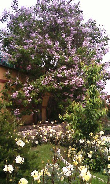 File:Цветущие деревья 1.jpg