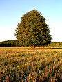 Ծառ - panoramio.jpg