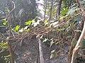 লাউ - Lagenaria siceraria ২০২০-১২-২২ 2020-12-22.jpg