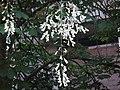 கெண்டகி மஞ்ச்சள் மரப்பூச்சரம் Yellowwood flower.jpg
