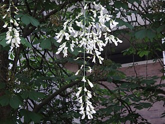 Cladrastis kentukea - Kentucky yellowwood flowers