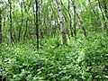 არყის ტყე გერგეთის სამებასთან - panoramio.jpg