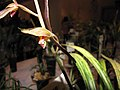 報歲黃金瑞寶 Cymbidium sinense -香港沙田洋蘭展 Shatin Orchid Show, Hong Kong- (12284433923).jpg
