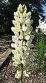 多葉羽扇豆 Lupinus polyphyllus -維也納大學植物園 Vienna University Botanical Garden- (40198238081).jpg