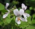 天竺葵屬 Pelargonium vitifolium -阿姆斯特丹植物園 Hortus Botanicus, Amsterdam- (9229788168).jpg