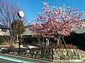 宿川はしどひろばの河津桜 - panoramio.jpg