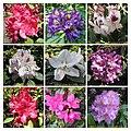杜鵑花 Rhododendron cultivars -波蘭華沙 Powsin PAN Botanical Garden, Warsaw- (36166683610).jpg