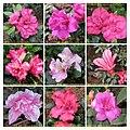 杜鵑花 Rhododendron cultivars 2 -香港動植物公園 Hong Kong Botanical Garden- (9207614226).jpg