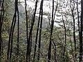 枫林古道上的松树林 - panoramio.jpg