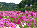 田園風景に咲くコスモス(Cosmos fields in Matsuyama) 11 Oct, 2015 - panoramio.jpg