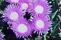 番杏科植物 Aizoaceae - panoramio.jpg