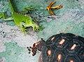 紅腿龜與綠鬣蜥 Iguana iguana ^ Chelonoidis carbonaria - panoramio.jpg