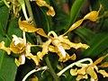 雙色羚羊石斛 Dendrobium discolor -香港公園 Hong Kong Park- (9213355707).jpg