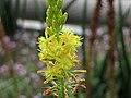 鱗芹屬 Bulbine aloides -英格蘭 Wisley Gardens, England- (9213296361).jpg