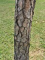 黑松 Pinus thunbergii 20211007185113 09.jpg