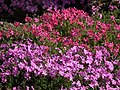 黑部觀光旅館花圃 Flowers in the Garden of Kurobe Kanko Hotel - panoramio.jpg