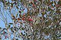 후피향나무 열매.JPG