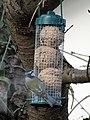 -2018-12-12 Blue Tit (Cyanistes caeruleus), Trimingham (3).JPG