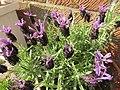 -2019-06-02 French lavender (Rosmaninho-maior), Trimingham.JPG