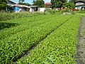 0251jfPanoramics Pulilan Fields Plants Philippinesfvf 17.JPG