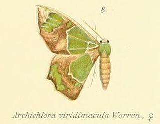 <i>Archichlora</i> Genus of moths