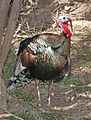089 - WILD TURKEY (5-8-2016) patagonia lake, santa cruz co, az -01 (26733755320).jpg