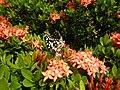 09019jfClose-ups of butterflies on flowers Bulacanfvf 07.jpg