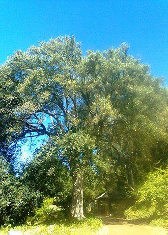 Kiggelaria - Image: 1 Kiggelaria africana tree Cape Town