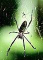 1 Web. 2 Spiders (3187534163).jpg
