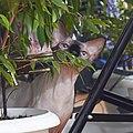 1 adult cat Sphynx. img 018.jpg