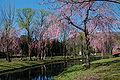 2007 Sakura of Yuzawa Chuo Park 001.jpg