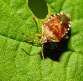 2013-06-04 15-35-04-Hemiptera.JPG