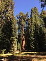 2013-09-20 11 10 06 General Sherman Tree.JPG