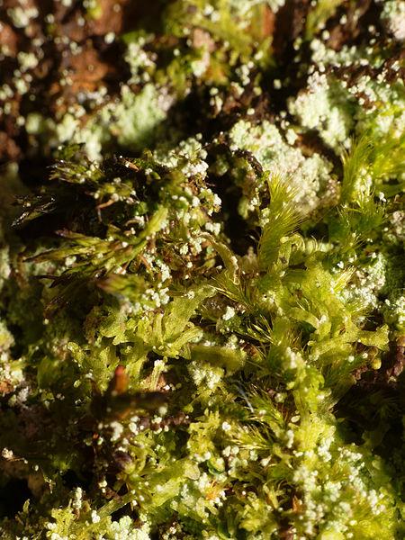 This file was uploaded  with Commonist.    Mousse (bryophyta sp.).  Image prise avec la bonnette Raynox DCR-250.