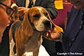 2013 Westminster Kennel Club Dog Show (8467552472).jpg