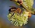 2014-03-19 17-22-56 abeille-chaton-saule.jpg