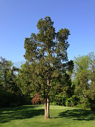Juniperus virginiana - Juniperus virginiana incorporated into a golf course in northern Virginia
