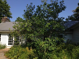 2014-08-27 15 14 06 Sweetbay Magnolia near the Buttinger House at the Stony Brook-Millstone Watershed Association.JPG