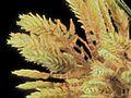 2014-08-30-10.07.40 ZS PMax Cyperus eragrostis-1 (14898475990).jpg