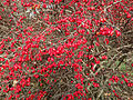 2014-12-30 11 31 24 Barberry fruit along River Road (New Jersey Route 175) in Ewing, New Jersey.JPG