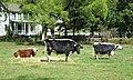 2014 Landis Valley Museum bulls.jpg
