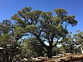 2015-04-27 14 26 17 An older Single-leaf Pinyon on the north wall of Maverick Canyon, Nevada.jpg