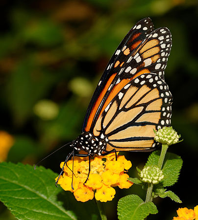 2015-10-24 13-09-49 papillon-hunawihr.jpg