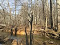 2016-02-08 13 30 02 Erosion around trees on the banks of Difficult Run between Vale Road and Lawyers Road in Oakton, Fairfax County, Virginia.jpg